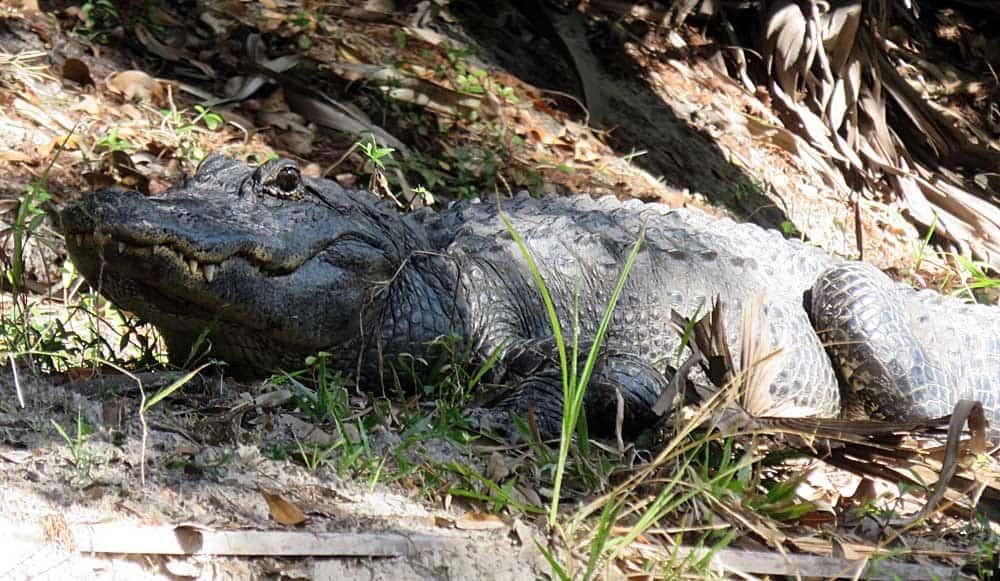 Lone gator we saw kayaking the Alafia River near Tampa. (Photo: Bonnie Gross)