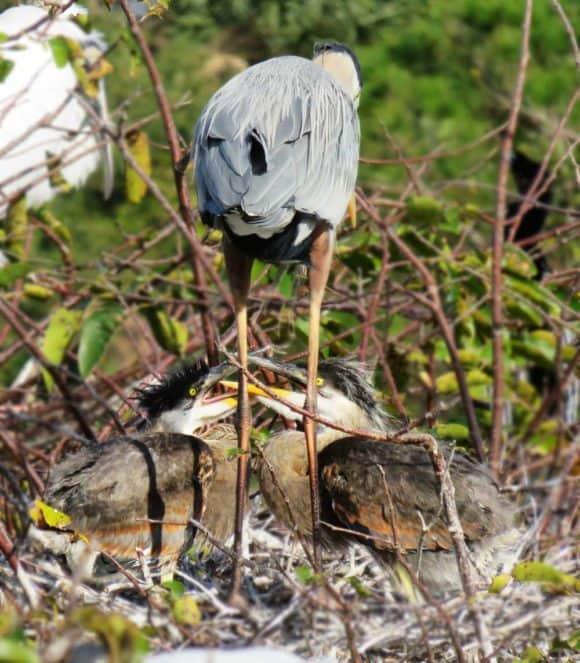 baby great blue herons Wakodahatchee Wetlands in Delray Beach: Watch the wood storks nesting