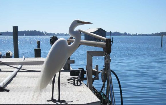 At the fish shacks in Cortez Florida you'll eat outdoors with views of the water while pelicans, herons and egrets gather photogenically nearby. (Photo: David Blasco)