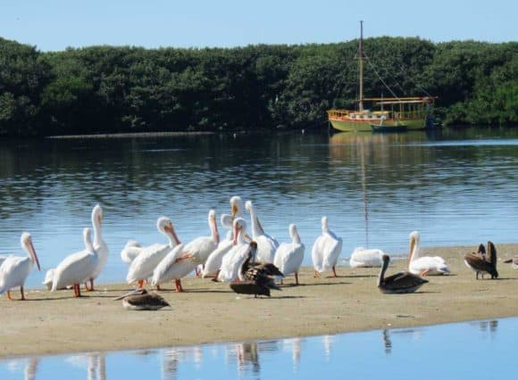 White pelicans gathering off the waterfront in Cortez, FL. (Photo: Bonnie Gross)