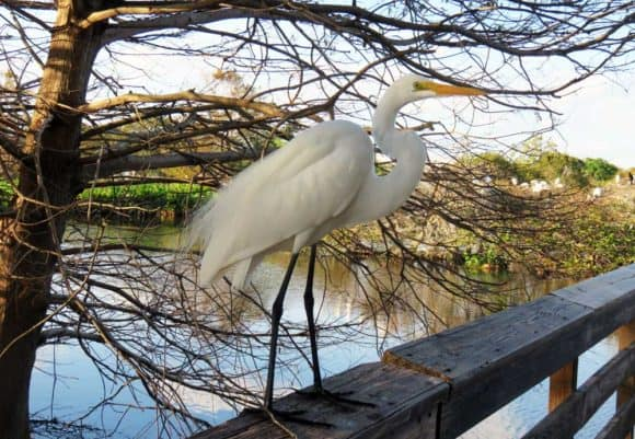 great egret Wakodahatchee Wetlands in Delray Beach: Watch the wood storks nesting