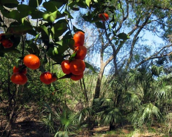 Along the paddling trail through Little Manatee River State Park, we came across bright orange fruit on long abandoned citrus trees. (Photo: Bonnie Gross)