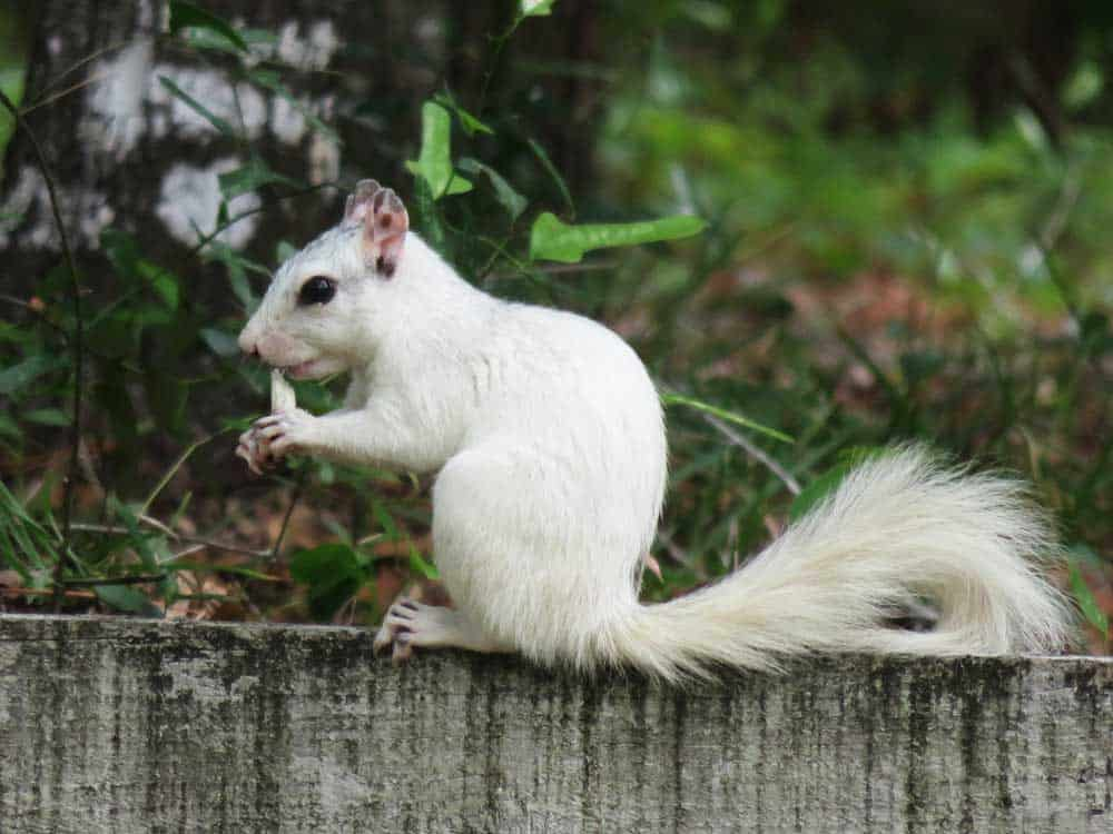 Sixty years ago, the owner of a historic inn brought in a small population of white squirrels. These squirrels – leucistic not albinos – thrived and today can be seen in and around Ochlockonee River State Park. (Photo: Bonnie Gross)
