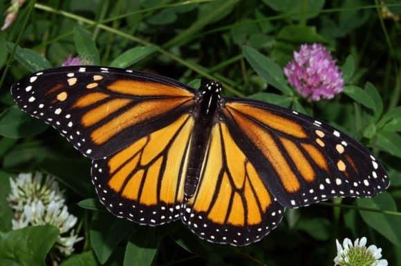 Monarch butterfly by Kenneth Dwain Harrelson