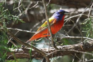 Painted bunting on Big Talbot Island
