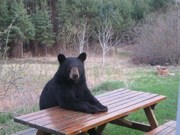 bear picnic Camping with bears