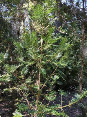 Torreya Tree at Torreya State Park