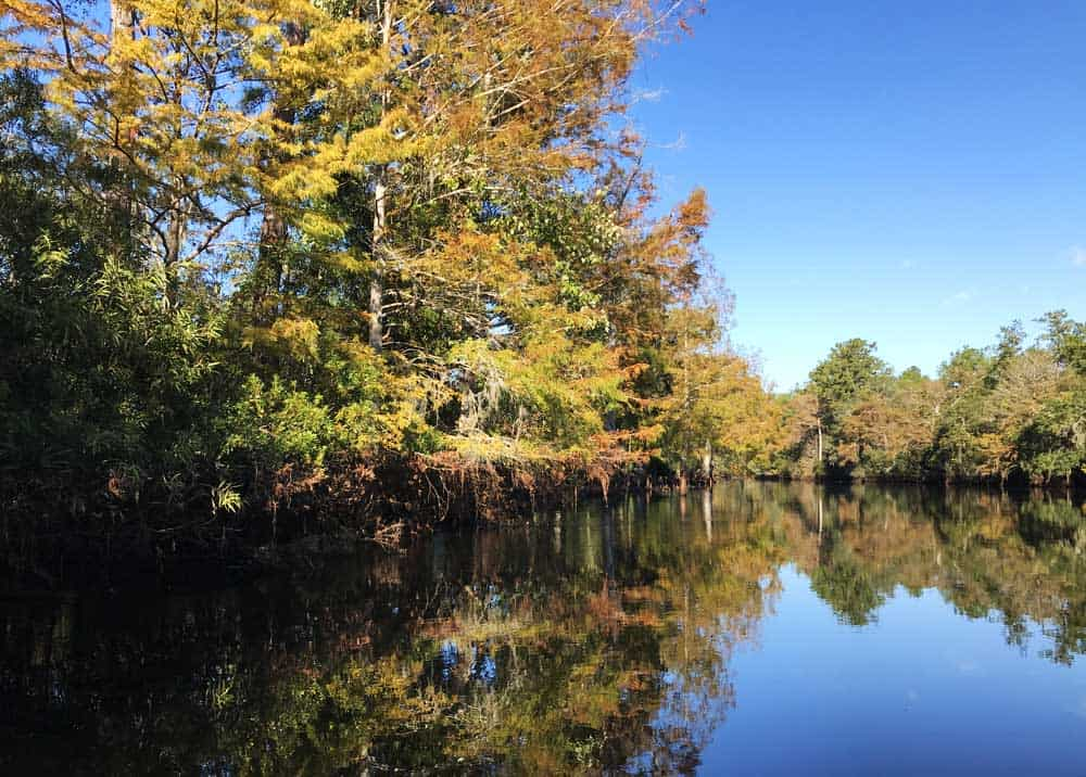 Cypress trees turn a golden yellow and orange in fall. Along the Rainbow River near Dunnellon