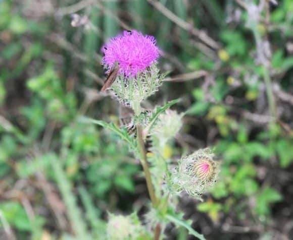 Thistle was one of many wildflowers along the Everglades hiking trail off Alligator Alley through Big Cypress (Photo: Bonnie Gross)