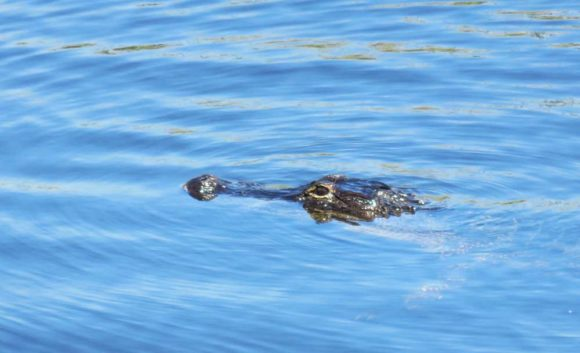 What Alligator Alley is named for: This fellow was cruising along at the viewing tower at the MM 35 rest stop. (Photo: Bonnie Gross)