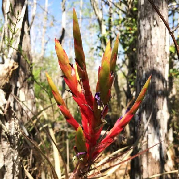 Bromeliad in bloom along the Florida Trail near Alligator Alley. (Photo: Bonnie Gross)