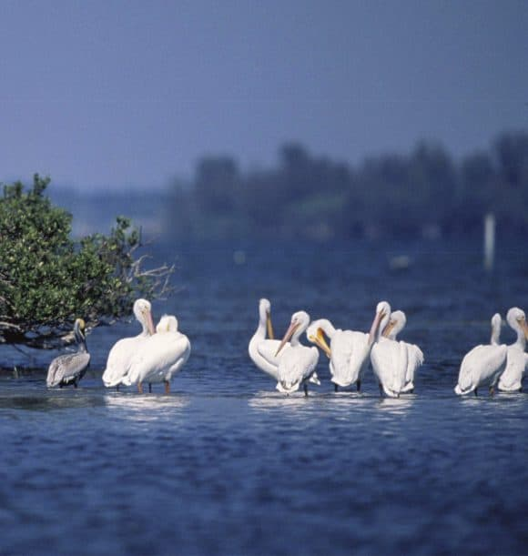 Brown and White Pelicans Rest On Pelican Island NWR Flock to a wonderland of birds on tiny Pelican Island