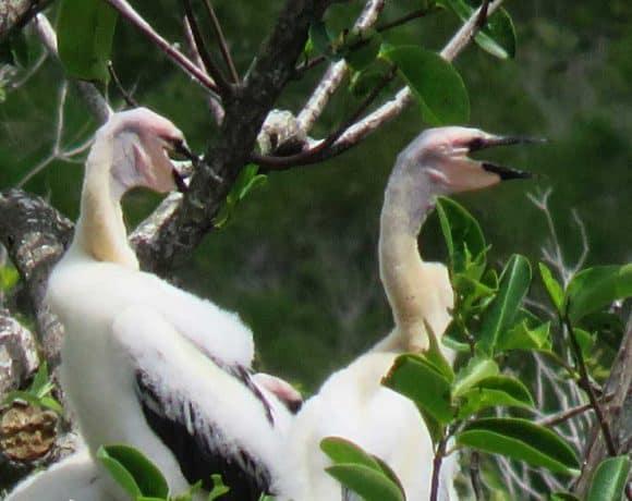 Anhinga chicks at Everglades National Park. (Photo: David Blasco)