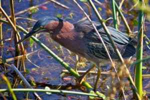 Green Heron (Butorides virescens) at Pelican Island National Wildlife Refuge, Florida. Photo Credit: Keenan Adams / USFWS