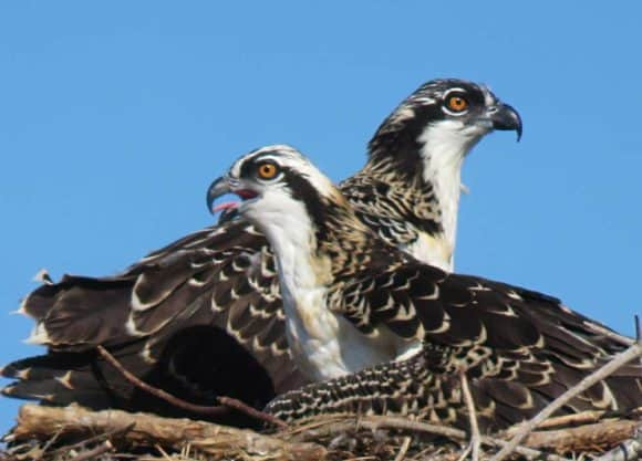 Osprey chicks in nest at Flamingo Marina, Everglades National Park. (Photo: David Blasco)