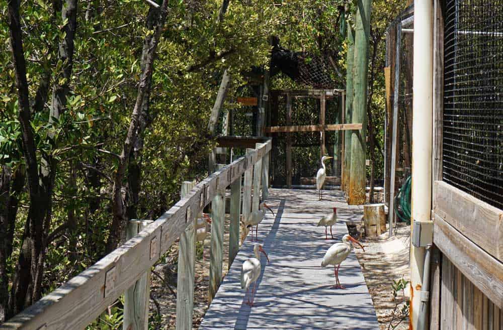 At the Florida Keys Wild Bird Rehabilitation Center in Tavernier, five birds walk on boardwalk past other caged birds.