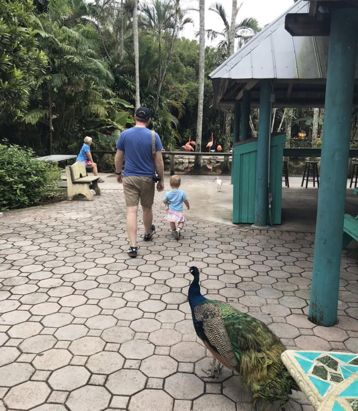 Flamingo Gardens: Peacocks roam the grounds. (Photo: David Blasco)