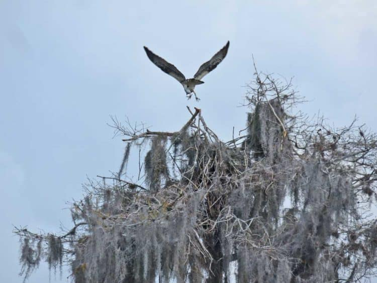 There are hundreds of ospreys and their nests at Blue Cypress Lake. (Photo: David Blasco)