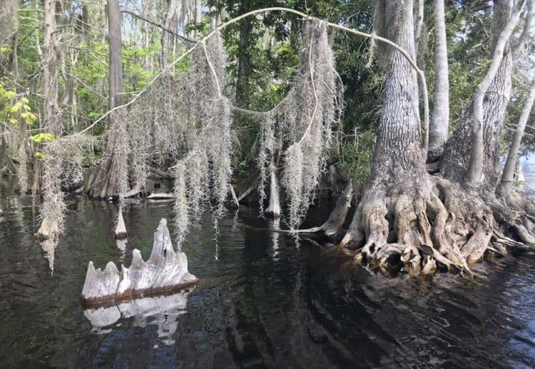 Blue Cypress Lake is ringed by magnificent bald cypress trees. (Photo: Bonnie Gross)