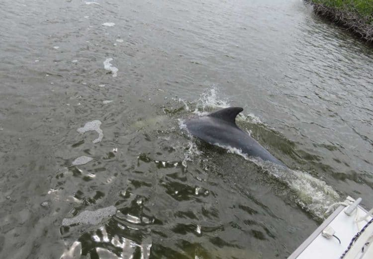 A dolphin swims along side our houseboat in Everglades National Park (Photo: Bonnie Gross)