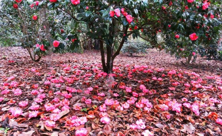Nature parks in Orlando: Camelias blanket the ground during spring at Leu Gardens in Orlando. (Photo: Bonnie Gross)