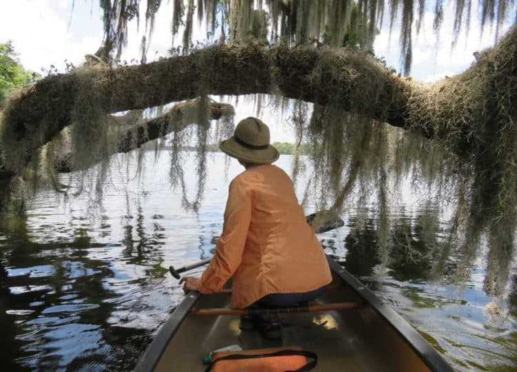 We paddled north from Welaka Fl along the eastern shore of the St. Johns from Welaka and enjoyed the view of boat houses and residences but the really beautiful part is the undeveloped shoreline, lined with large cypress trees, live oak trees, tall longleaf pines and lots and lots of Spanish moss draping everything.