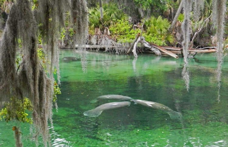 Nature parks in Orlando: Manatees at Blue Spring State Park. (Photo: Bonnie Gross)