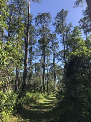 Longleaf pine forest on marked trail in Welaka State Forest,