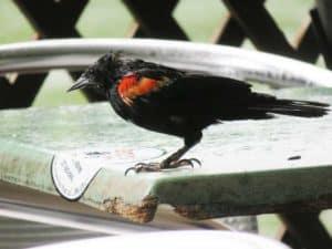 Red-wing blackbirds make pretty beggars at Alabama Jacks. (Photo: David Blasco)