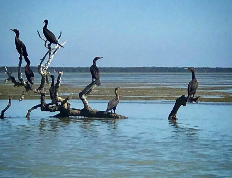Cormorants arrange themselves artfully on driftwood in Florida Bay. (Photo: Bonnie Gross)