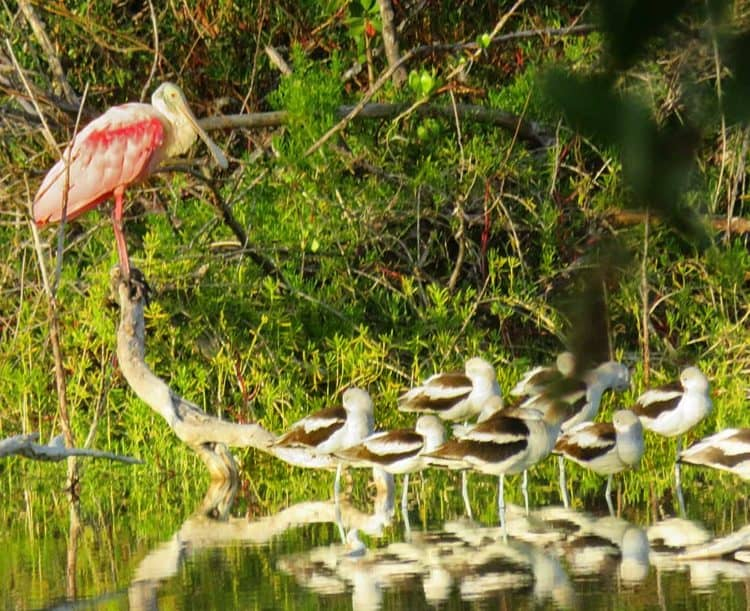Eco-pond, across from the campground in Flamingo in Everglades National Park is full of birds in November. Here, American avocets rest below a roseate spoonbill. (Photo: David Blasco)