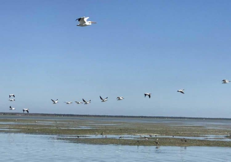 A flock of big beautiful white pelicans flying over Snake Bight near Flamingo in Everglades National Park, (Photo: Bonnie Gross)