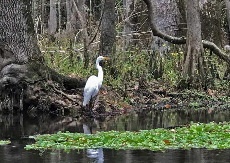 A great white egret at Ichetucknee Springs State Park was one of many birds along the spring run. (Photo: Bonnie Gross)