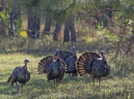 turkey displaying crop wraithmell A Thanksgiving story: Florida's wild turkeys