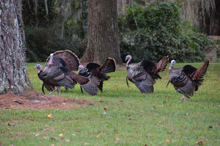 Wild Florida Turkeys. FWC Photo by Carli Segelson