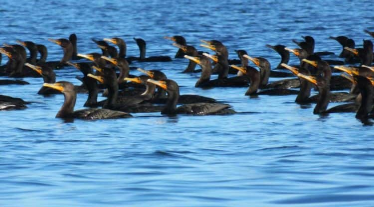 Hundreds of cormorants float in a tight group on Pine Island Sound