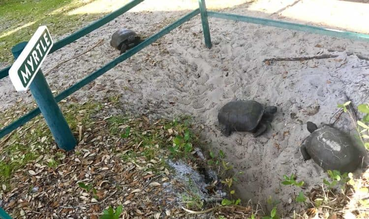 Gopher tortoises are beloved residents of Cabbage Key and reside in the hillside in front of the inn and restaurant. (Photo by Bonnie Gross)