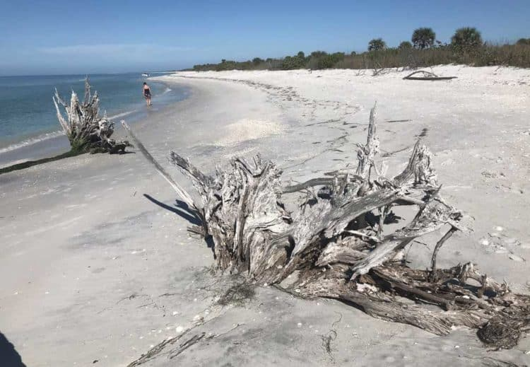 The beach on Cayo Costa is stunning, with white sand, bleached driftwood, shells and few people. (Photo by Bonnie Gross)