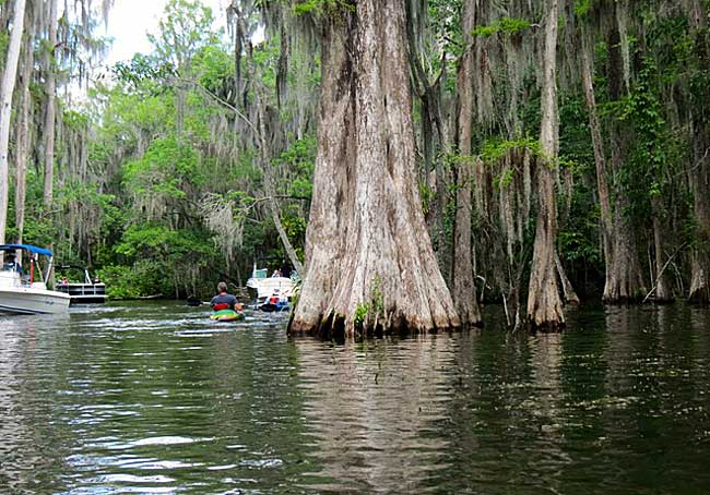 Ancient cypress trees while kayaking Dora Canal (Photo: Ed and Deb Higgins)