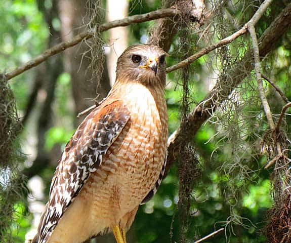A hawk spotted while kayaking Dora Canal (Photo: Ed and Deb Higgins)