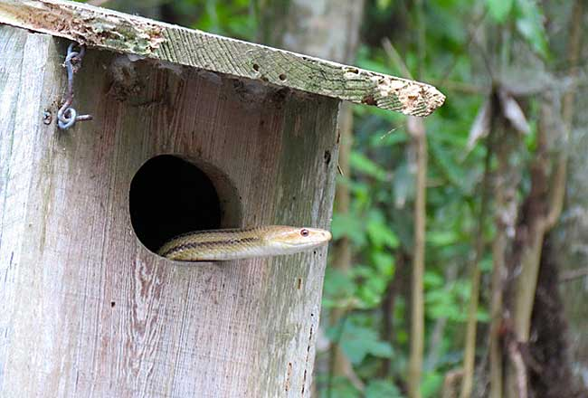 A snake peeks out of bird nesting box along the Dora Canal.kayaking Dora Canal (Photo: Ed and Deb Higgins)