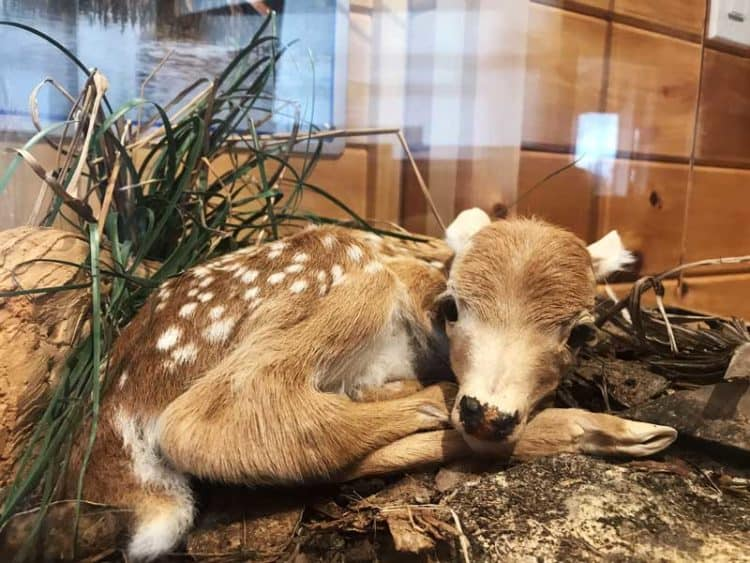 A newborn key deer, preserved by taxidermy, at the Florida Keys National Wildlife Refuges Nature Center. Newborn key deer weight 2 to 4 pounds. (Photo: Bonnie Gross)