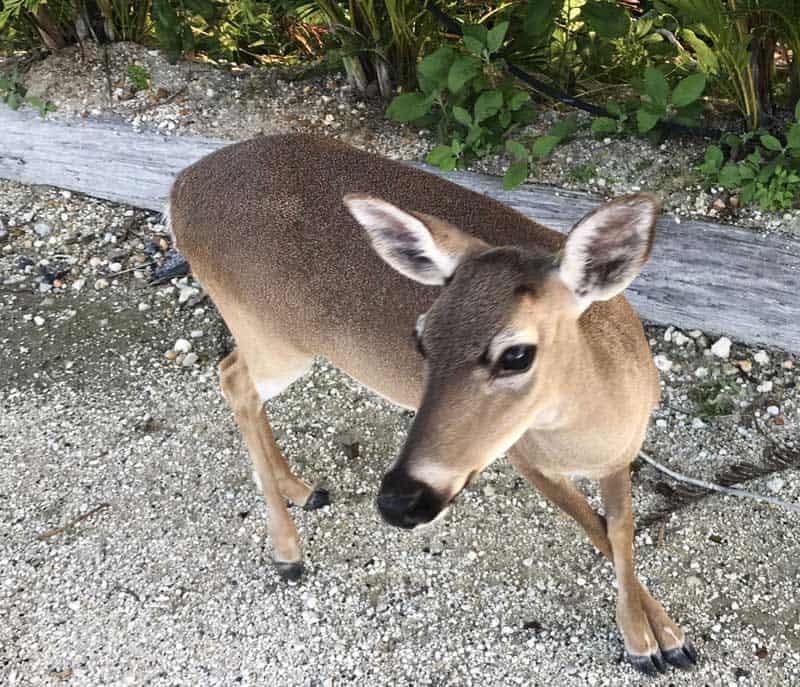 Key Deer in Big Pine Key within the National Key Deer Refuge. (Photo: Bonnie Gross)