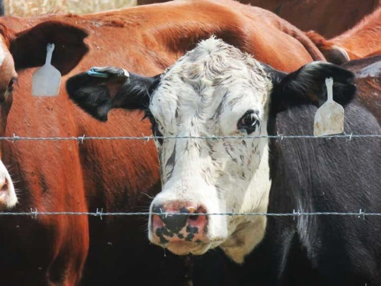 "Cattle ranching in Florida: Each cow at Deseret Ranches has ""an earring"" with a computer chip in it. (Photo: David Blasco)"