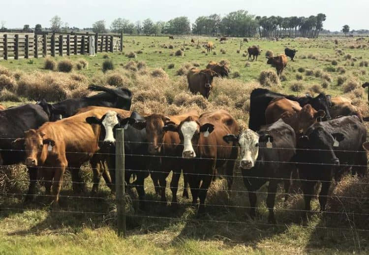 The cattle crowd along the barbed-wire fence when the bus pulls up. (Photo: Bonnie Gross)