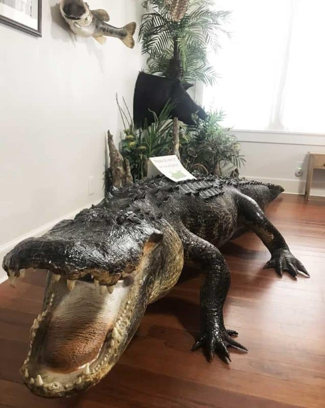 Gus, a stuffed gator, located in the visitor cener at Deseret Ranches, one of the largest cattle ranches in Florida. (Photo: Bonnie Gross)
