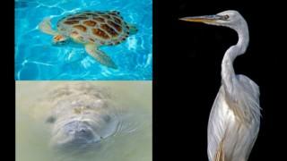 Three Florida Keys animals: Sea turtle, manatee and great white heron.