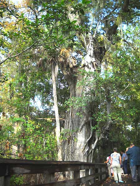 Florida hike: Barley Barber Swamp great bald cypress