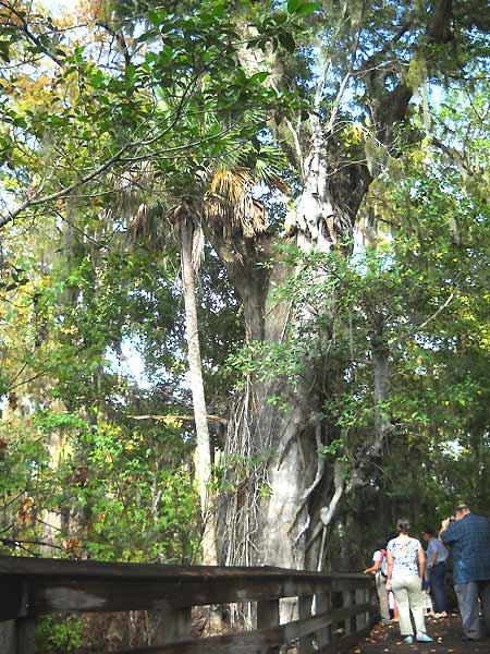 Florida hike: Barley Barber Swamp great bald cypress