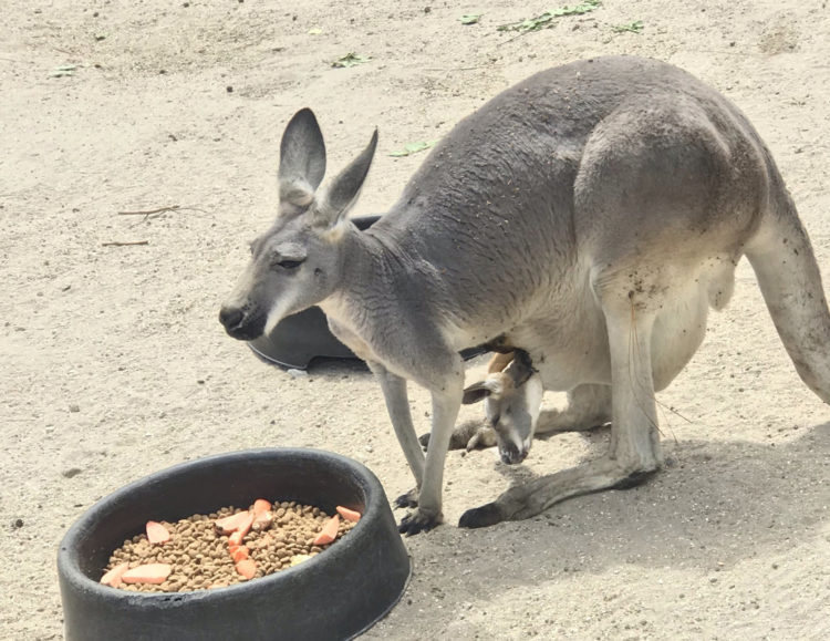 Guests can enter the kangaroo enclosure at the Brevard Zoo and see the kangaroos without a fence between them. Notice the joey peering out of his mother's pouch. (Photo: Bonnie Gross)